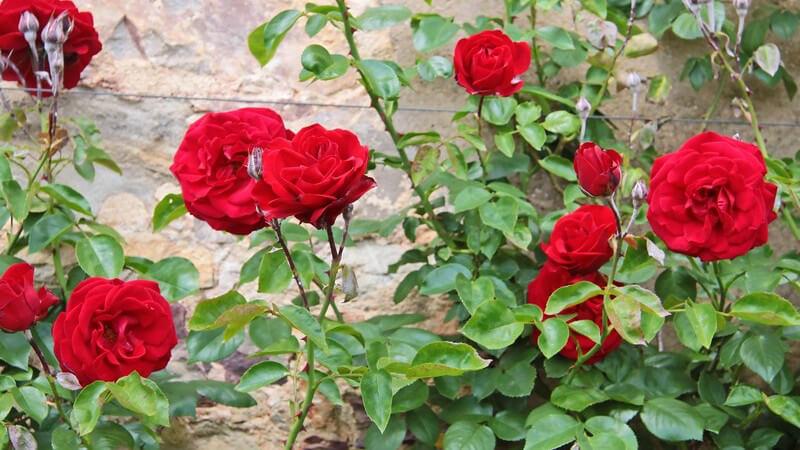Ein Rosarium bietet Besuchern die Möglichkeit, die Vielfalt an Rosenarten und -sorten in einem speziell dafür angelegten Rosengarten zu besichtigen
