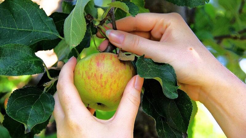 Den Apfelbaum kann man das ganze Jahr über pflanzen; man erhält ihn z.B. in Baumschulen oder Gartenbaumärkten