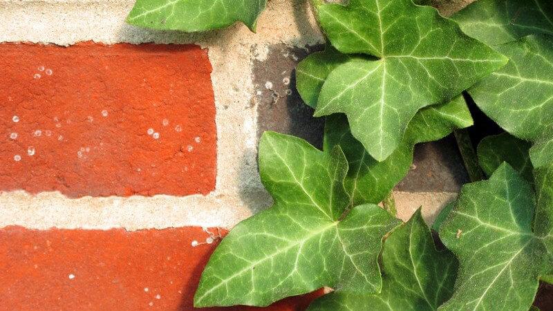 Kletterpflanzen verschönern so manchen Garten, Balkon oder eine Terrasse; meist werden sie an einem Spalier hochgezogen - Dabei gibt es verschiedene Arten von Kletterpflanzen