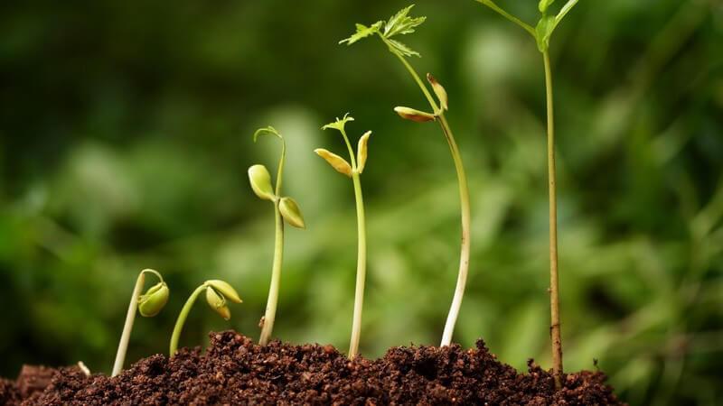 Pflanzen muss man pflegen, damit sie gesund bleiben - dies beginnt bereits schon beim Einpflanzen; haben sie im Topf zu wenig Platz, müssen sie umgetopft werden