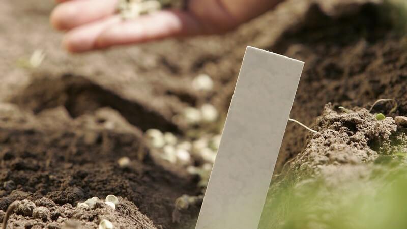 Die Keimzeit des Saatguts hängt hauptsächlich von dessen Keimfähigkeit ab - Verbessern lässt sich diese durch das Beizen