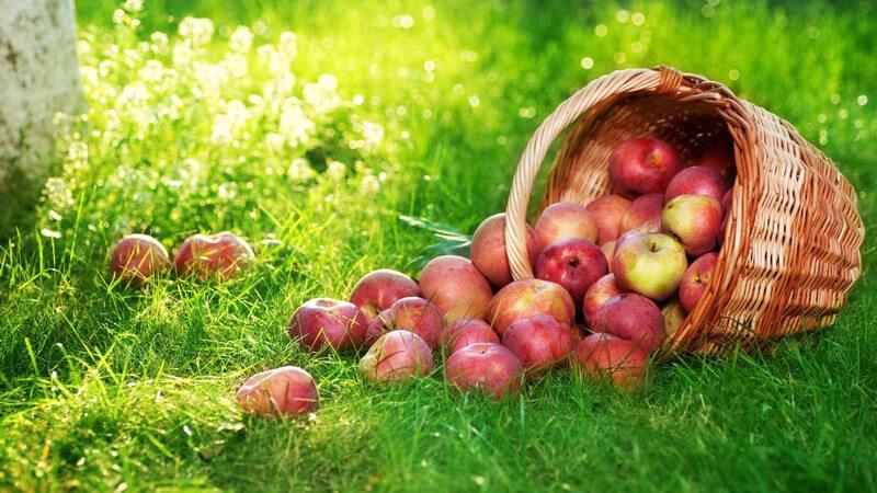 Am besten eignen sich Äpfel aus eigenem Anbau - anderenfalls sollte man unbedingt auf Bioäpfel bzw. -saft zurückgreifen - bis der Essig fertig ist, dauert es mehrere Wochen