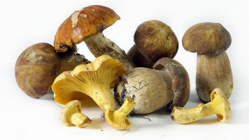 Zur Anwendung als Heilmittel kommen mitunter die Stinkmorchel bei Gicht, der Echte Zuckerschwamm zur Blutstillung oder der Hallimasch als Abführmittel
