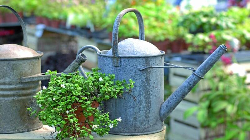 Ein Bonsaibaum bringt exotisches Flair in die Wohnung oder auch in den Garten - man kann ihm durch regelmäßiges Zurückschneiden besondere Formen verleihen