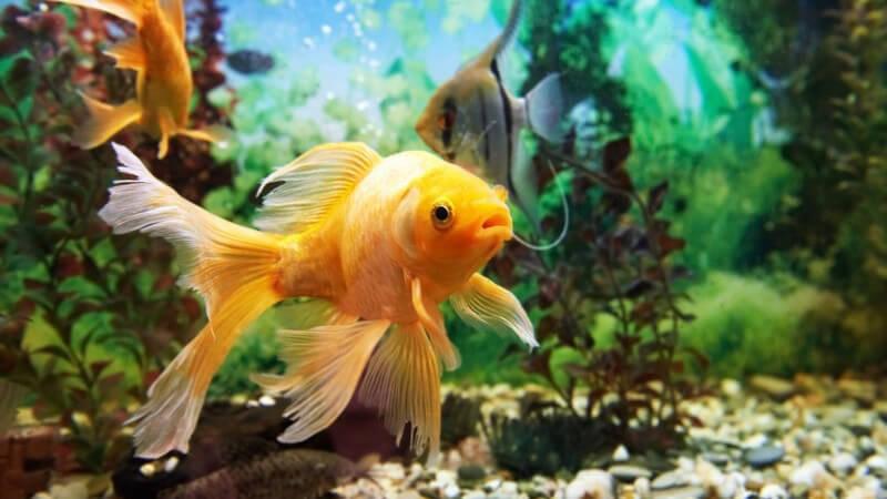 Damit es den Aquarienbewohnern gutgeht, benötigen die Fische eine artgerechte Haltung und Pflege - dazu gehört auch die richtige Fütterung