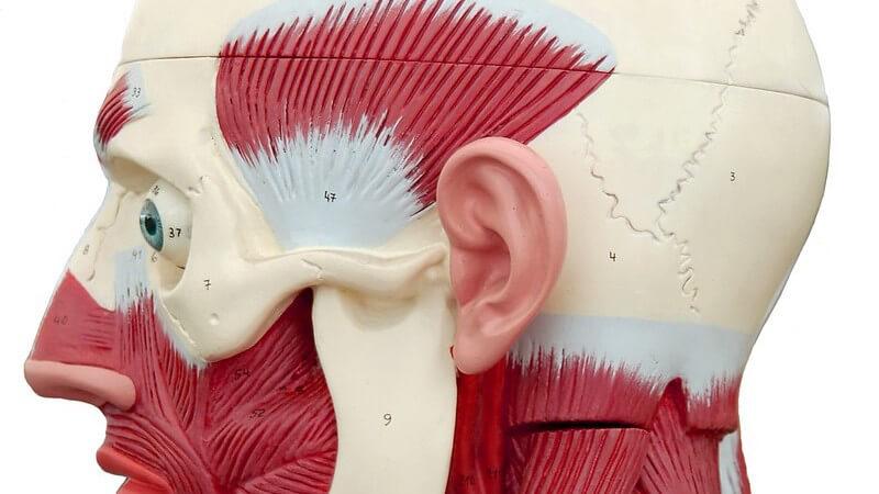 Das Jochbein trägt zur Formung des Wangenprofils und zum Aufbau der Augenhöhlenwand bei