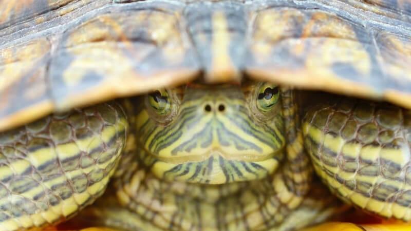 In der privaten Tierhaltung erfreuen sich vor allem Sumpf- und Wasserschildkröten einer großen Beliebtheit -  Was gilt es bei der Haltung zu beachten?