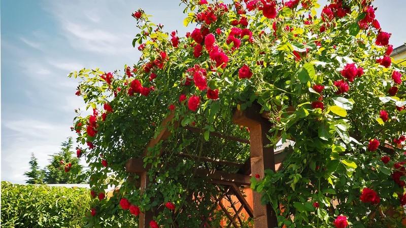 Ein Überblick über unterschiedliche Rosenarten und deren Wachstumsbedingungen