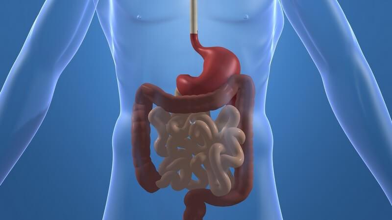 Zerlegen die Nahrung, damit sie vom Stoffwechsel verwertet werden kann