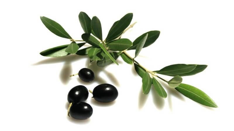 Als Olivenblättertee eingenommen, können Antioxidantien wie Hydroxytyrosol und Oleuropein u.a. bei Fieber und Bluthochdruck helfen