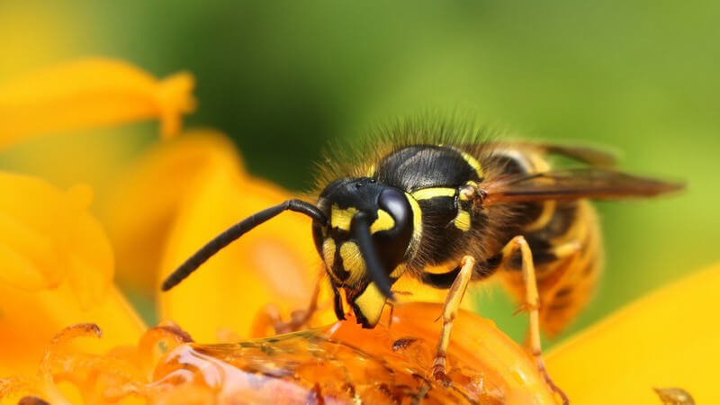 Einige Bienenarten sind vom Aussterben bedroht und stehen auf der Roten Liste