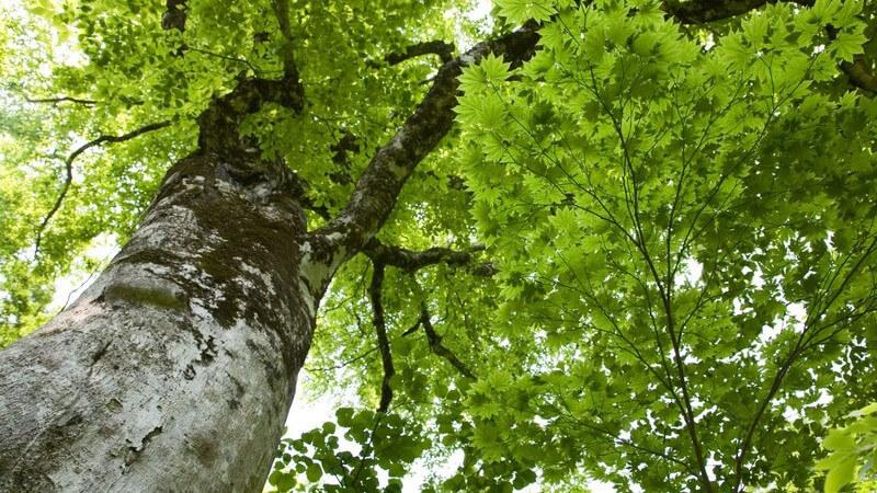 Der Chop-Suey Baum lässt sich mitunter als Pulver, Tee oder Saft verwenden und hilft bei verschiedenen gesundheitlichen Problemen