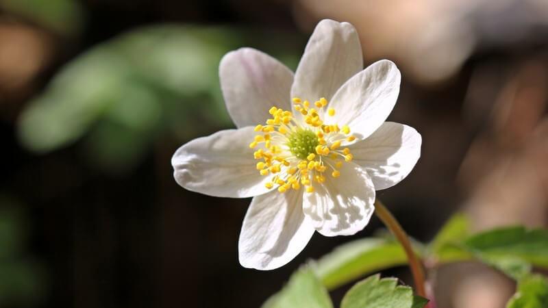 Das Buschwindröschen ist sehr dekorativ und zudem recht pflegeleicht - zu beachten ist, dass es in jedem Pflanzenteil giftg ist