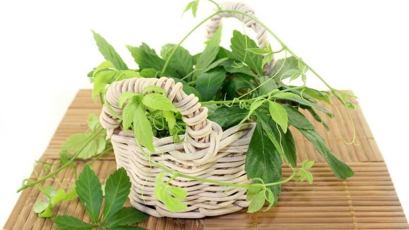 Jiaogulan wird in der Regel als Tee eingenommen - wir geben Tipps und Hinweise zum Anbau der Pflanze im eigenen Garten