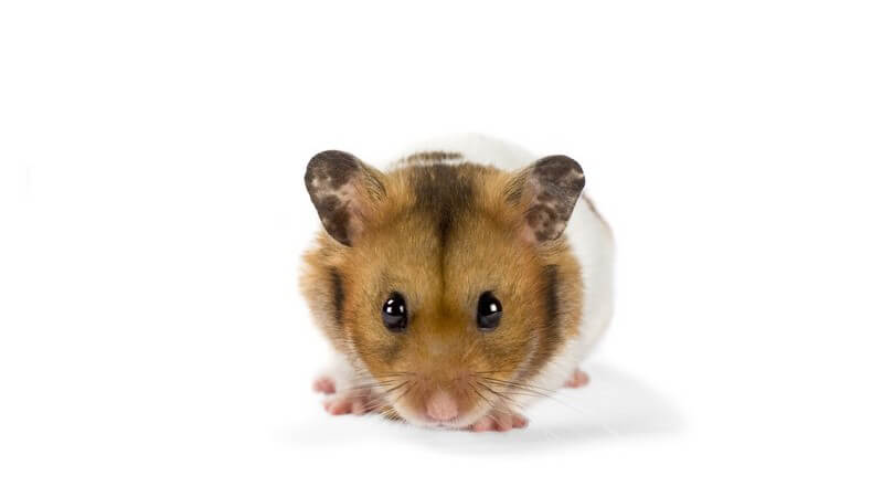Wir geben einen Überblick über unterschiedliche Nager - von der Maus über Meerschweinchen und Hamster bis hin zu Siebenschläfer und Biber
