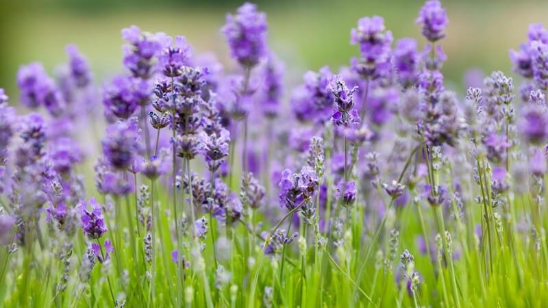 Für die Herstellung eines Lavendelkissens kann man Blätter, Blüten und Stiele verwenden - die Blüten erhalten den Duft am längsten