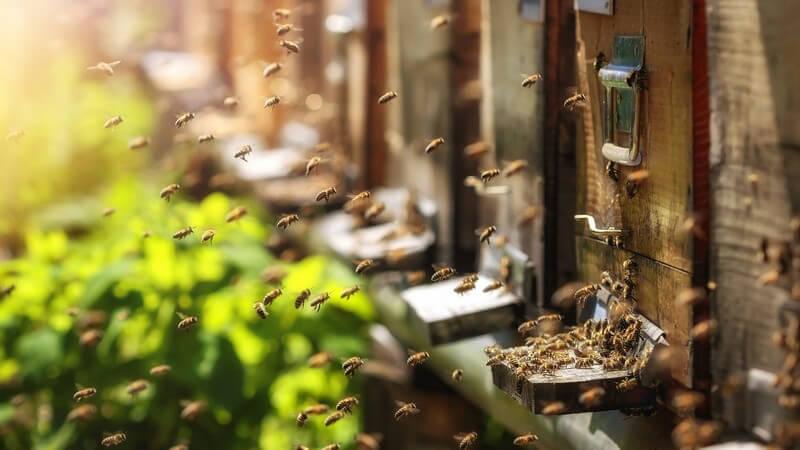 Für die Bereitstellung des Bienenstocks ist der Imker zuständig