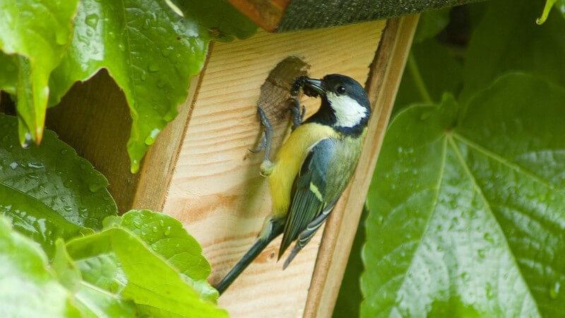Der Nestbau und die Brut zählen zum Nisten eines Vogels - Sowohl Weibchen als auch Männchen übernehmen dabei bestimmte Aufgaben
