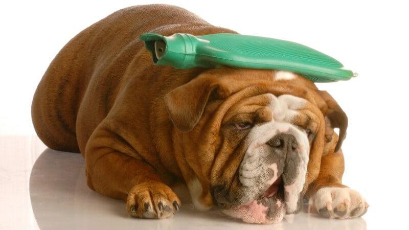 Wir geben einen Überblick über häufige Erkrankungen beim Hund - Mitunter kann man auch mit der Alternativmedizin einiges erreichen