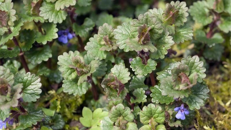 Gundermann ist ein Heilkraut, welches man auch selbst im Garten anbauen kann - so hat man stets ein wirkungsvolles Heilmittel zur Hand