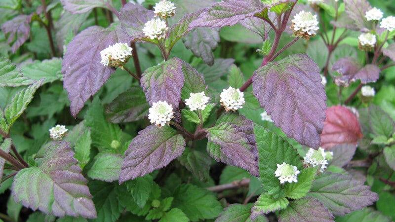 Das Aztekische Süßkraut lässt sich als Heilpflanze gegen Asthma und Bronchitis verwenden - auch der Anbau im eigenen Garten oder auf dem Balkon ist möglich