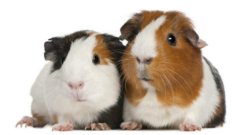 Hinweise zur Pflege, Ernährungsweise, Beschäftigung und Krankheitserkennung und -behandlung bei einem Meerschweinchen