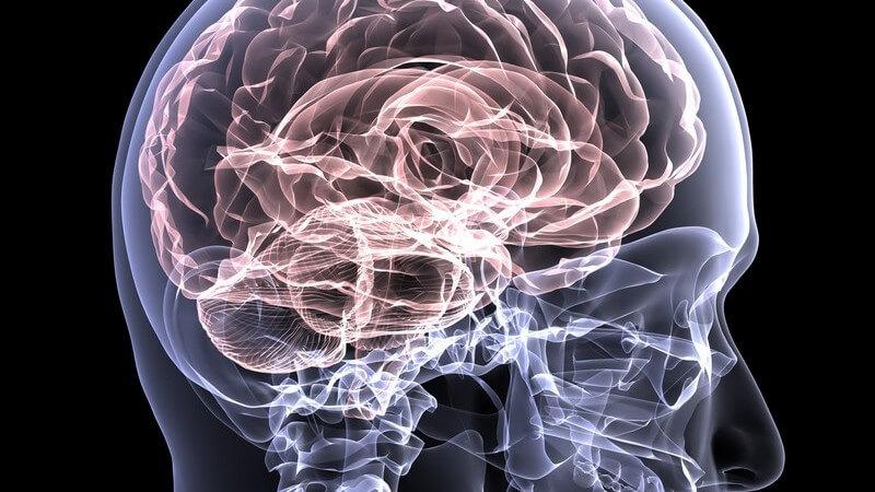 In jeder der zwei menschlichen Gehirnhälften befindet sich ein Hippocampus