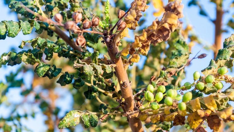 Merkmale, Vorkommen, Inhaltsstoffe und Anwendungsgebiete des Weihrauchs als Heilpflanze
