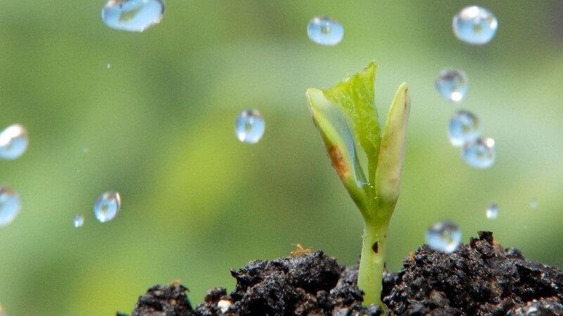 Merkmale, Vorkommen, Inhaltsstoffe und Verwendung des Niembaums als Heilpflanze
