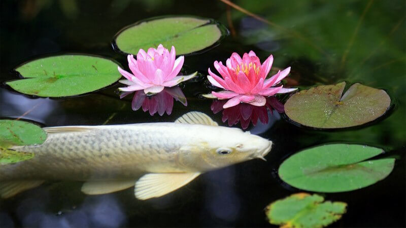 Zu den unterschiedlichen Fischen, die man in einem Gartenteich halten kann, zählen Goldfische, Koi, Bitterlinge, Goldorfen und Elritze