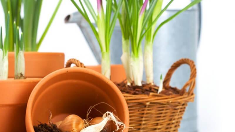 Wissenswertes über Tulpen im Garten und in der Vase
