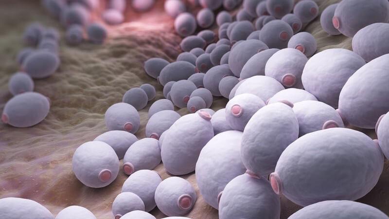 Candida albicans gehört zu den häufigsten Pilzerregern und kommt bei drei Viertel der Menschen vor - er setzt sich vorwiegend an Haut und Schleimhaut an