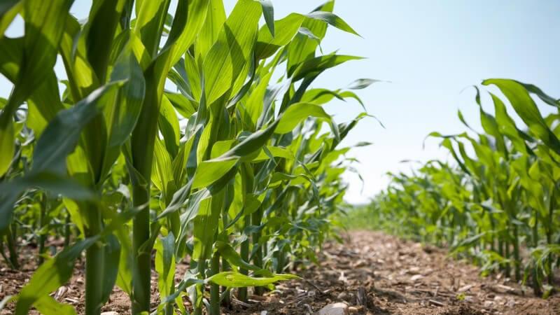 Das Maiskeimöl eignet sich vor allem für Menschen mit erhöhtem Cholesterinspiegel
