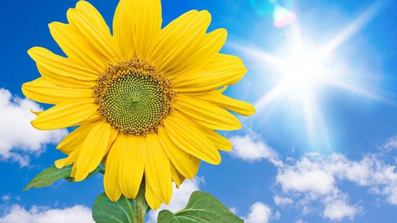 Wirkung und Anwendung von Sonnenblumenöl