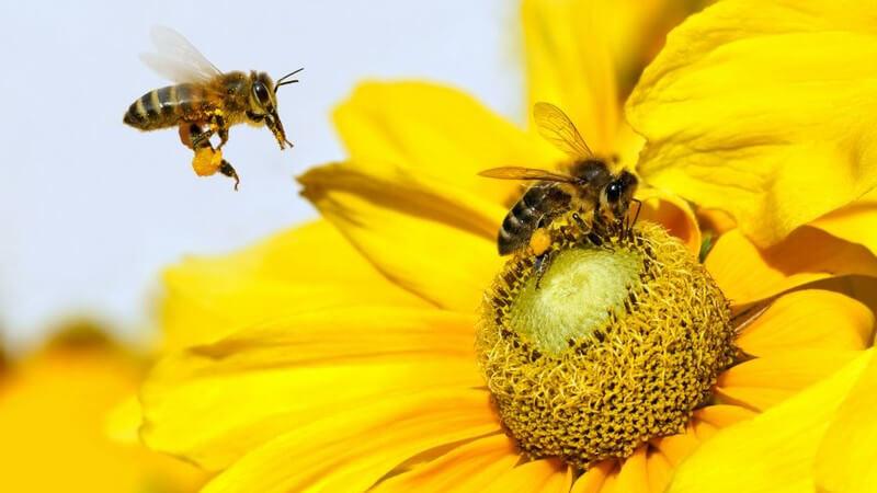 Sonnenblumenhonig hat einen leicht säuerlichen Geschmack