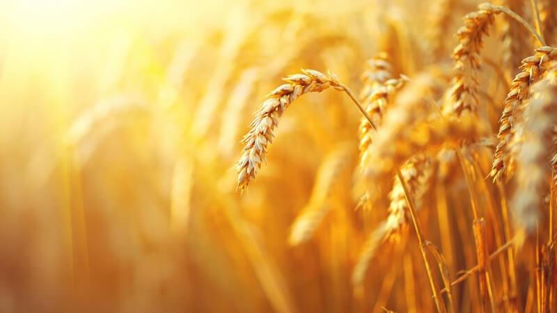 Dinkel, Emmer und Hartweizen gehören zu den beliebtesten Weizensorten
