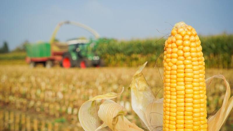 Wissenswertes über Mais