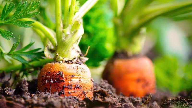 Besonders beliebt sind Karotten und Kartoffeln