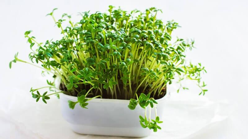 Wie kann man Gartenkresse verwenden?