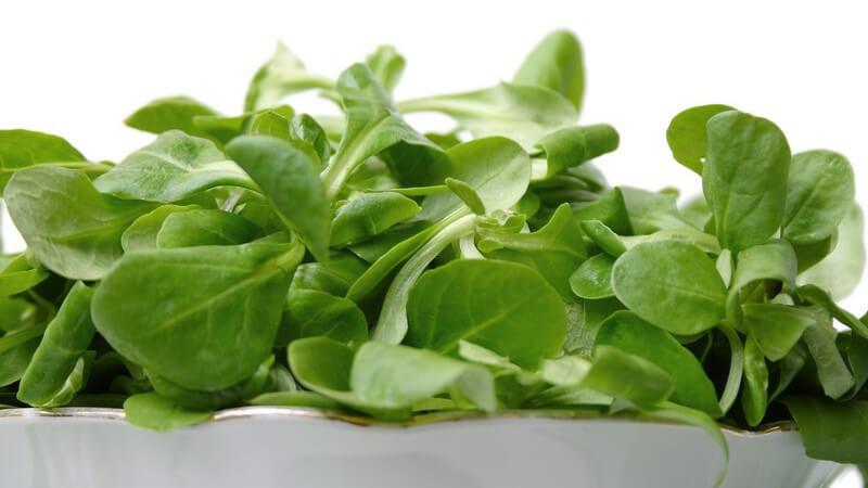Der Feldsalat gilt als vitaminreichster Salat; ins Dressing sollte Zitronensaft gegeben werden, damit das Eisen besser aufgenommen werden kann