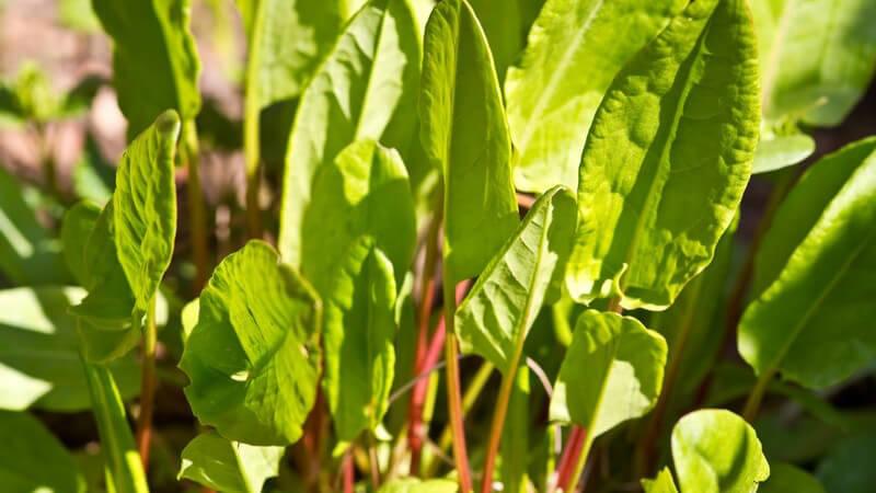 Der Sauerampfer gibt dem Salat einen besonderen Geschmack und kann zudem auch gekocht in einer Sauce oder Suppe verwendet werden
