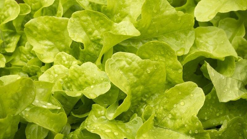 Der Pflücksalat wird meistens roh in Form eines gemischen Salates zubereitet; in vielen Wokgerichten ist jedoch auch gegarter Schnittsalat enthalten