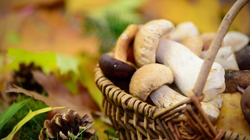 Aus dem Edel-Reizker tritt rötlich gefärbter Milchsaft aus, der auch den Urin färben kann - der süßlich schmeckende Pilz wird am besten gebraten