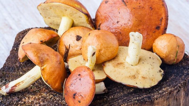 Der Butterpilz sollte vor der Zubereitung geschält werden; dies minimiert das mögliche Auftreten von Beschwerden - der Pilz lässt sich z.B. braten, dünsten oder grillen