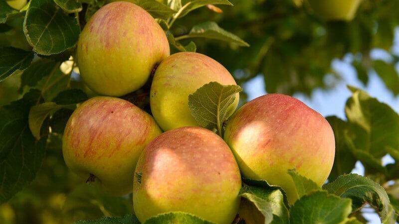 Äpfel der Sorte Alkmene schmecken säuerlich