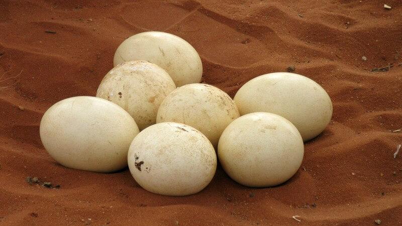 Straußeneier sind groß und schmackhaft - und deren Schale gilt sogar als beliebtes Dekoobjekt
