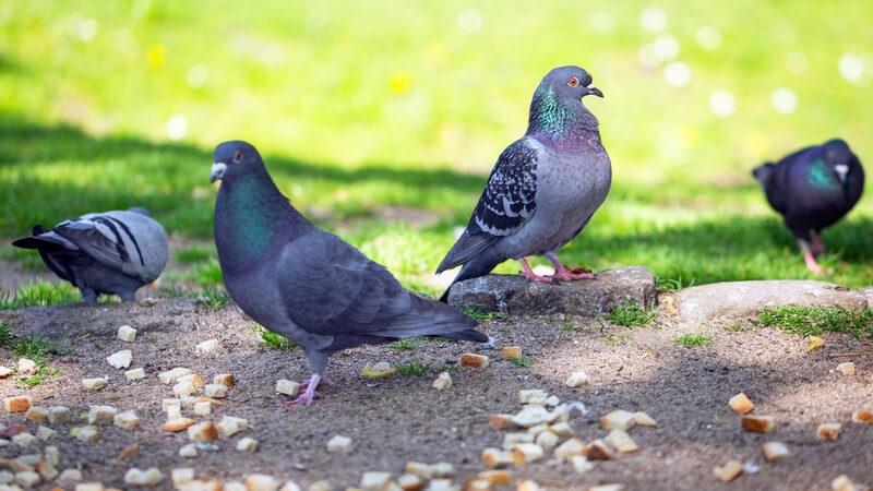 Beliebt sind Taubensuppe sowie gefüllter Braten