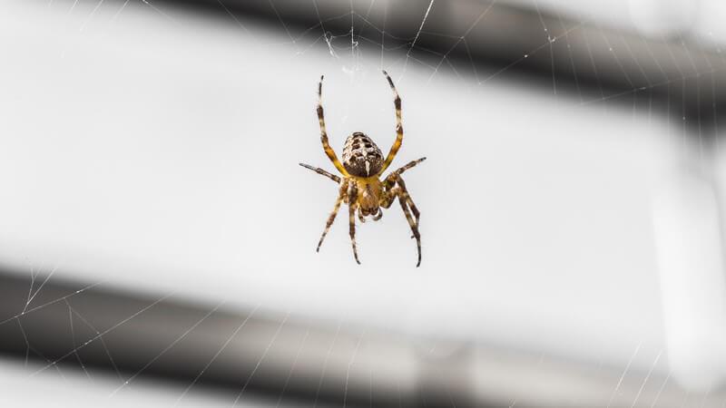 Typisches Merkmal der Insekten sind die stark voneinander abgesetzten Körperteile; Spinnentiere lassen sich u.a. durch ihre vier paarigen Extremitäten erkennen