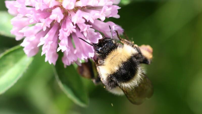 Der Staatenaufbau bei der Hummel ist mit dem der Honigbiene vergleichbar