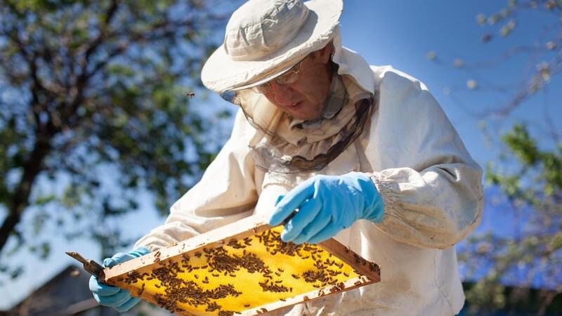 Weiterführende Informationen zur Bienenart der Buckfastbienen